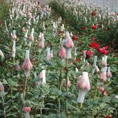 花卉種子 散裝玫瑰花種子 紅刺玫紅玫瑰種籽子 四季播種植大花室內盆栽-凡屋
