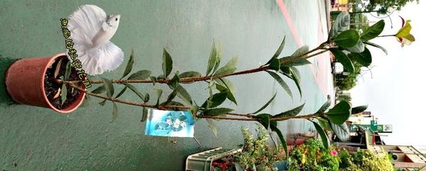 [發財桂花 千子桂花] 5-6吋盆 活體室外盆栽, 開花會香