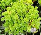 [黃金萬年草] 活體多肉植物 3吋多肉植栽 組合盆栽 半日照佳 送禮首選小盆栽