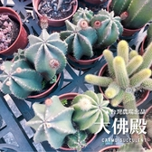 CARMO大佛殿多肉植物仙人掌成株(3吋) 夏日 新手【Z0152】