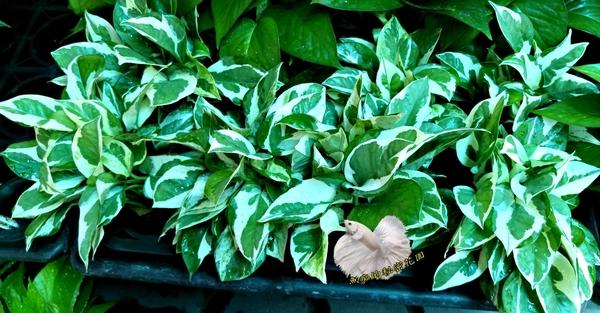 [白金葛 陽光黃金葛 黑盆水耕植物 水生植栽] 需自備花器 室內佳