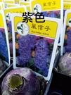 花花世界_季節花卉--風信子(紫色)--**球根植物**/3吋盆/高5-10CM/TC