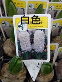 花花世界_季節花卉--風信子(不挑色)--**球根植物**/3吋盆/高5-10CM/TC