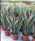 花花世界_觀葉植物--美葉虎尾蘭--淨化空氣用/一尺盆/高60-80cm /Ts