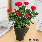 好康618 玫瑰花盆栽花卉觀花植物室內