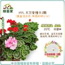 【綠藝家】H55.天竺葵種子2顆(畫盒混合色.株高約40公分)