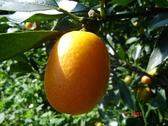 [宜蘭]採果體驗-宜富金棗果園(金棗)