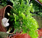 [兔腳蕨]  活體 [兔角蕨] 室內植物 3吋盆栽 送禮小品盆栽 可淨化空氣