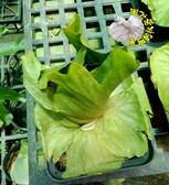 [澳洲巨大鹿角蕨盆栽  4-5吋方盒盆 ] 室內觀葉盆栽 觀賞鹿角蕨盆栽 活體室內植物盆栽 半日照佳