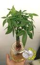 編織發財樹玻璃瓶水耕植物盆栽 [編織造型馬拉巴栗 美國花生 發財樹] 室內室外皆可