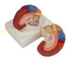 正品醫學大腦模型 大腦功能分區 皮層分區 人體腦解剖 腦色分模型
