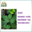 【綠藝家】P02.含羞草種子(含羞)50顆