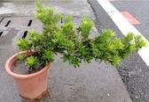 花花世界_觀葉喬木--金鑽羅漢松(美型),常綠喬木--好種植 /6吋盆苗/高30-35公分/Tm