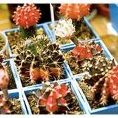 CARMO緋牡丹錦種子(20顆裝)仙人掌種子【D51】