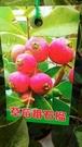** 草莓番石榴 ** 6吋盆/高30-50cm OvO
