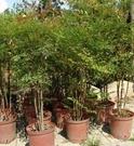 花花世界_圍籬樹苗--南天竹,常綠小灌木--冬季變紅色/5尺苗/高150公分/Tm