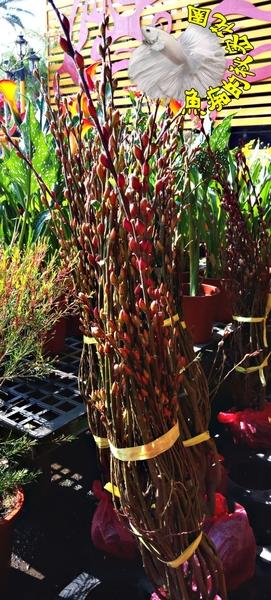 高約80-90公分 [大把銀柳 貓柳 有根. 帶少量土。無盆]   活體多年生觀賞花卉 過年盆栽