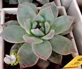 [藍鳥 進口多肉] 活體多肉植物 多肉植栽 3吋黑色/白色方盆 ~送禮小品盆栽~ 室外半日照佳