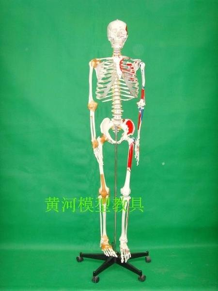 人體 骨骼附肌肉著色及韌帶模型170CM 人體 骨架附韌帶彩色肌肉