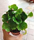 [小咖啡樹盆栽] 3寸盆 室內多年生觀葉植物盆栽 半日照佳