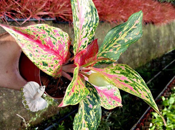 活體 [亞曼尼] 室內植物 3吋盆栽 送禮小品盆栽