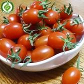 【綠安生活】產銷履歷溫室玉女小番茄10斤 (1斤/盒)-Q彈美味又營養