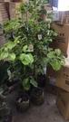 花花世界_喬木植物--牛樟--(無法超取)**木材芳香**--/美植袋盆/高1米/TC