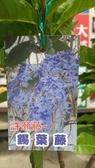 樹苗-花苗-** 錫葉藤 (許願藤)**-6吋盆/高20-40公分/紫花環【花花世界玫瑰園】S