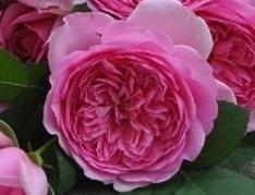 花花世界_玫瑰苗--龐帕度夫人,Rose Pompadour--/4吋盆苗/高10~30公分/Tm