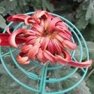花花世界_季節花卉--壽菊(紅色),花序挺拔--過年應景的盆栽/5吋盆/高30-45公分/Tm