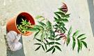 [大香椿盆栽 ] 6吋盆活體香草植物盆栽, 可食用可泡茶