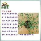 【綠藝家】大包裝K26.小地榆種子100...