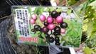 花花世界_香草植物--咖哩樹--(香料植...