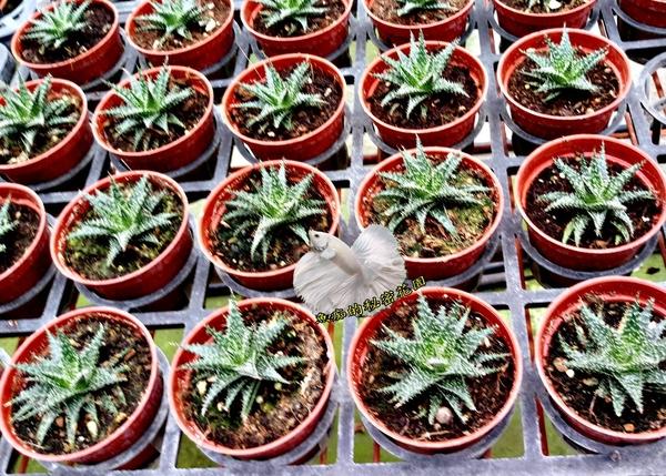 [觀賞蘆薈] 活體多肉植物 仙人掌多肉盆栽 3吋盆