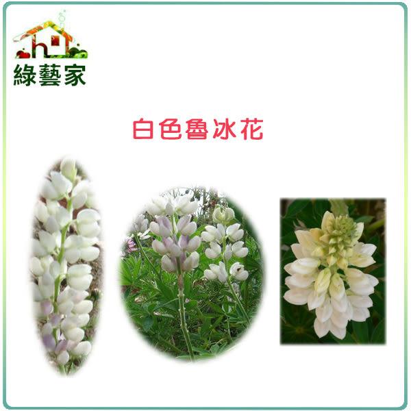 【綠藝家】H06.魯冰花(旺花白色)種子30顆