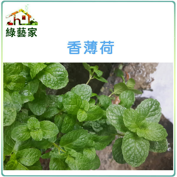 【綠藝家】K10.香薄荷(綠薄荷.荷蘭薄荷)種子300顆