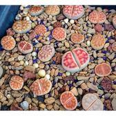 CARMO花紋玉混合多肉生石花種子(10顆裝) 生石花種子【A26】