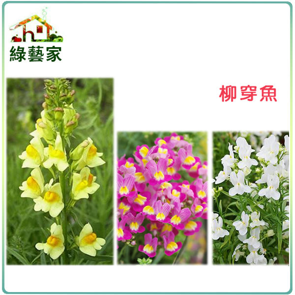 【綠藝家】H28.柳穿魚(混合色,高60cm)種子50顆