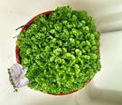 活體  珊瑚卷柏 冰淇淋卷柏 蕨類盆栽 室內植物3吋盆栽 可以淨化空氣