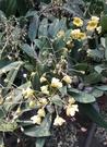 季節花卉 ** 黃金石斛蘭 **4吋盆/ 高15-20 cm/ 花色極豐富【花花世界玫瑰園】m