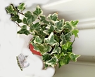 活體 白綠色常春藤 室內植物3吋長春藤盆栽 可以淨化空氣