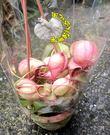4-5吋盆 [綠粉色蘋果豬籠草] 新品種豬籠草盆栽 活體食蟲植物 可以捕捉小昆蟲 ~需光線需充足+保濕