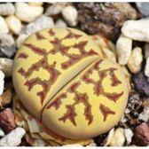 ⓒ麗虹玉C124種子(10顆裝) 肉錐種子【A66】