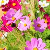 CARMO大波斯菊種子 園藝種子(單份) 【FR0082】