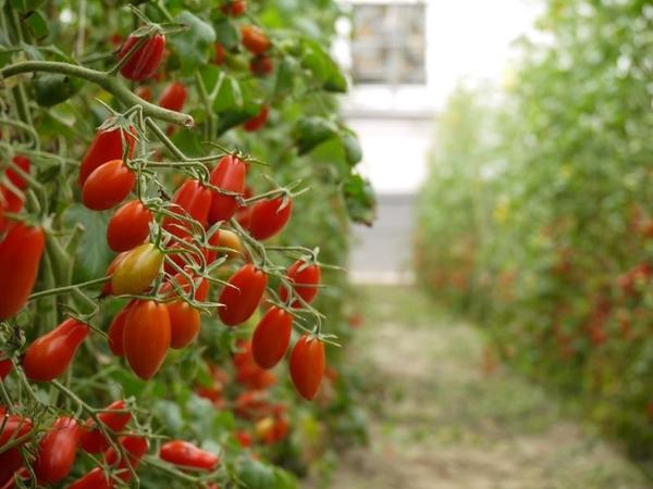 [高雄]採果體驗-蒝氣屋溫室果園〔蕃茄、香瓜〕