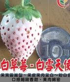 花花世界_水果果苗--白草莓(白雪天使)--果實圓錐型/3吋盆/TS