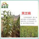 【綠藝家】大包裝G64.黑芝麻(胡麻)種子150克