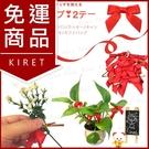 開運盆栽蝴蝶結擺飾 園藝造景招財裝飾 喜氣好運紅色緞帶掛飾 超值50入 Kiret 過年 節慶 掛件
