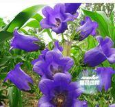 花卉種子 風鈴草風鈴花種子盆栽花卉植物家庭院花籽花種子四季播種的種籽 1色