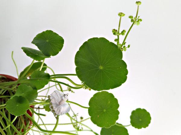 觀賞植物 銅錢草錢幣蓮盆栽  3吋盆活體盆栽 室外佳
